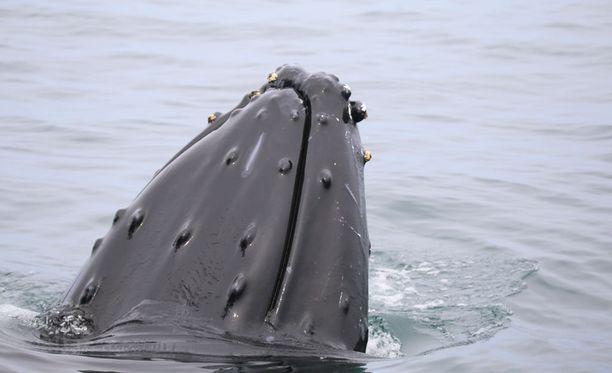 Sukeltaja uskoo ryhävalaan pelastaneen hänet hain hampaista Tyynessämeressä. Kuvituskuva.