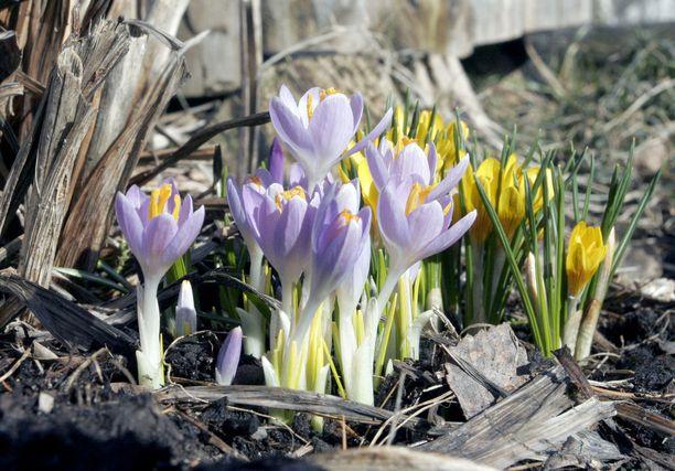 Kevään ensimmäisiä kukkia saatetaan nähdä jo huhtikuussa säiden lämmetessä.