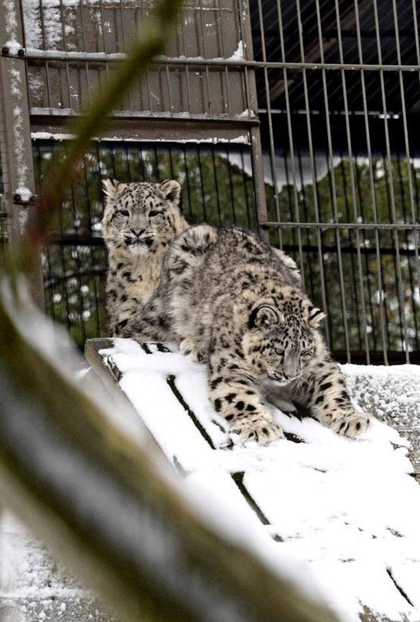 Viime talvena Korkeasaaressa ihasteltiin Tara-lumileopardin kolmea poikasta Eloisaa, Eveä ja Eshaa. Luonnossa lumileopardit ovat ovelia metsästäjiä, jotka pystyvät saalistamaan jopa kolme kertaa itseään painavampia eläimiä. Lumileopardin herkkua ovat esimerkiksi villit vuorilampaat- ja vuohet sekä alppikauriit.