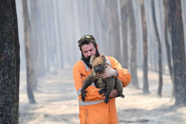 Simon Adamczyk kantaa pelastamaansa koalaa pois palavasta metsästä Australian Adelaidessa.