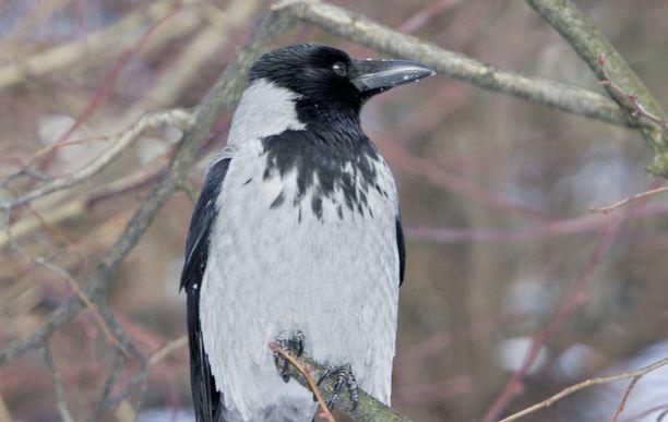 Tutkimuksetkin ovat osoittaneet, että varis on älykäs lintu.
