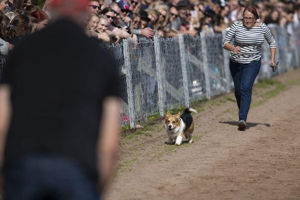 Veeti pääsi maaliin, kunhan malttoi jättää katsojat huomiotta. Paikalla oli satoja ihmisiä ja kymmeniä koiria, joten kisaaminen vaati keskittymistä. Sirpa Peltonen juoksi koiran kanssa.