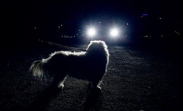 Pitkän hihnan päässä ilman heijastinta kulkeva koira on vaikea havaita.