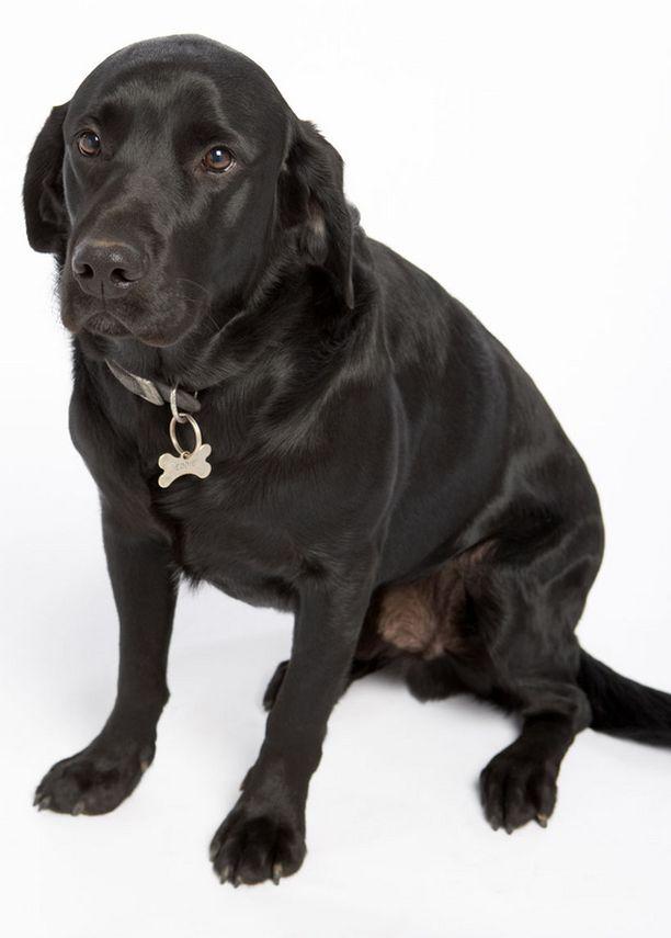 Piko on musta labradorinnoutaja. Kuvan koira ei liity tapaukseen.