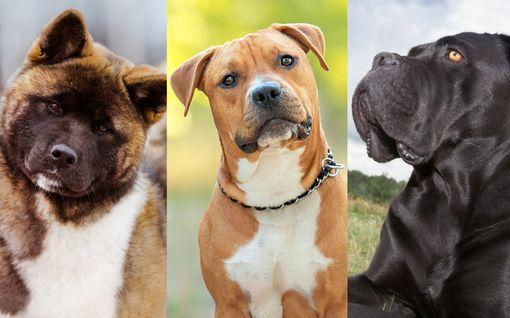 """Kovat otteet ovat näille koirille kuin """"bensaa liekkeihin"""" – tällaisia ovat voimakoirat"""