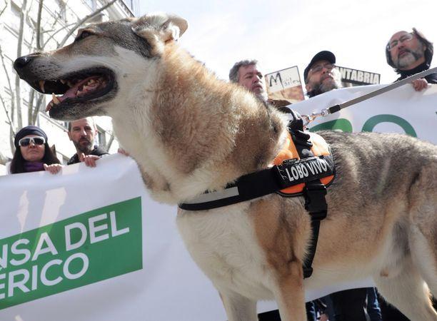 Kuvassa espanjalainen koirasusi.