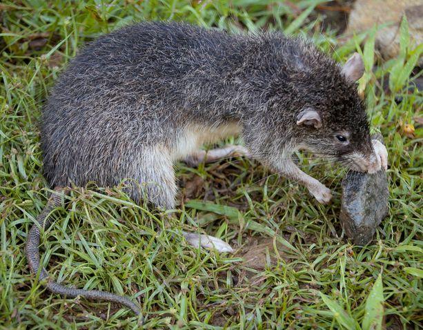 Rattus detentus elää ainoastaan Papua-Uuden-Guinean syrjäisellä Manus-saarella. Saareen eristäytyneestä rotasta on kehittynyt Uudessa-Guineassa ja Australiassa eläviä sukulaisiaan isompi, ja se onkin suurikokoisimpia Rattus-suvun edustajia maailmassa. Lajin elintavoista tiedetään hyvin vähän.