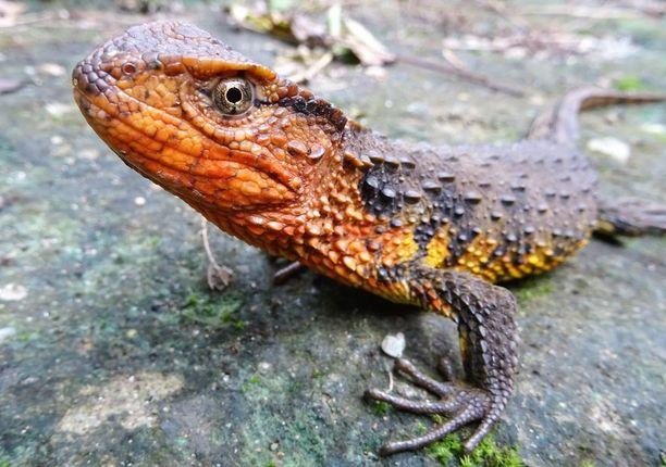 Vietnamilainen krokotiililisko elää vehreillä makean veden alueilla Etelä-Kiinassa ja Pohjois-Vietnamissa.