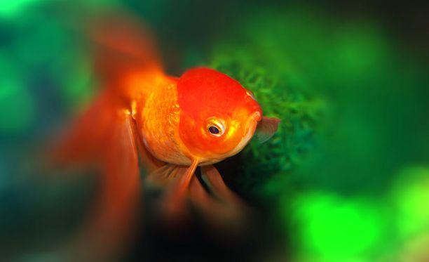 Kultakalan todellisesta keskittymiskyvystä on vain vähän tietoa, mutta nykyihmisellä se ei ole kaksinen.