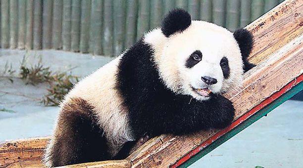 Kiinalainen jättiläispanda pelleili ystäviensä kanssa Shanghaissa ja herkutteli välillä tuoreilla bambunversoilla.
