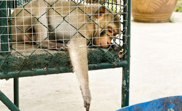 Vääränlainen ruokavalio yhdistettynä häkissä elämiseen on johtanut siihen, etteivät apinat pysty millään kuluttamaan syömäänsä energiamäärää.