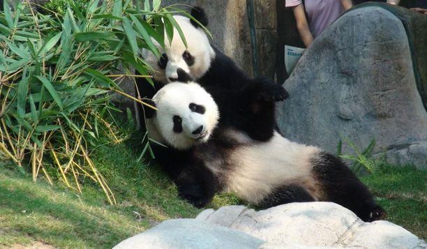 Isopandat Ying Ying ja Le Le viihtyivät lähekkäin intiimin tuokionsa jälkeen.
