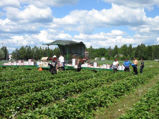 Alanteen tilan pelloilla häärii tänä kesänä lähes 100 poimijaa, pääosin Ukrainasta.