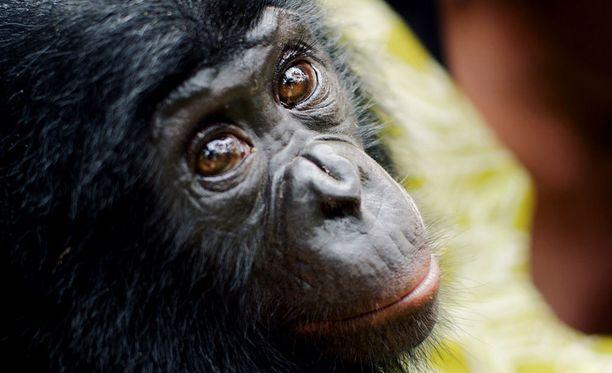 Bonobopienokainen on hyvin ihmisvauvamainen.
