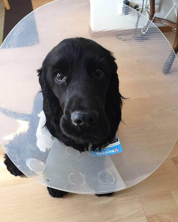 Masa-koira joutuu pitämään kauluria, joka hidastaa vilkkaan koiran menoa.