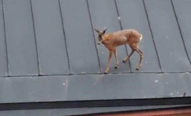 Laura huomasi katolla toikkaroivan kauriin.