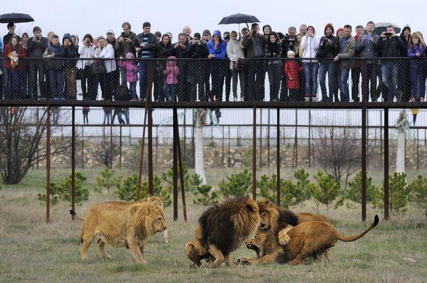 Leijonat ovat Krimin safaripuiston vetonaula.