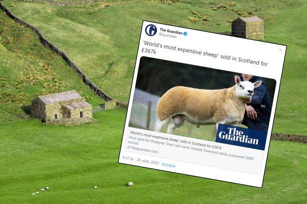 Maailman tähän mennessä kallein lammas myytiin Skotlannissa.