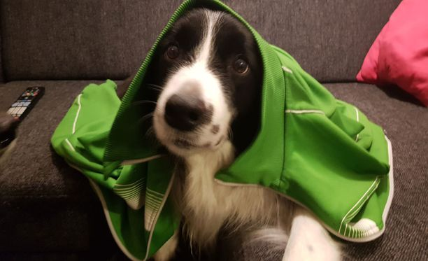 Tämä koira ei esiinny illan terveysdokumentissa, mutta silläkin on stressiä lieventäviä ominaisuuksia.