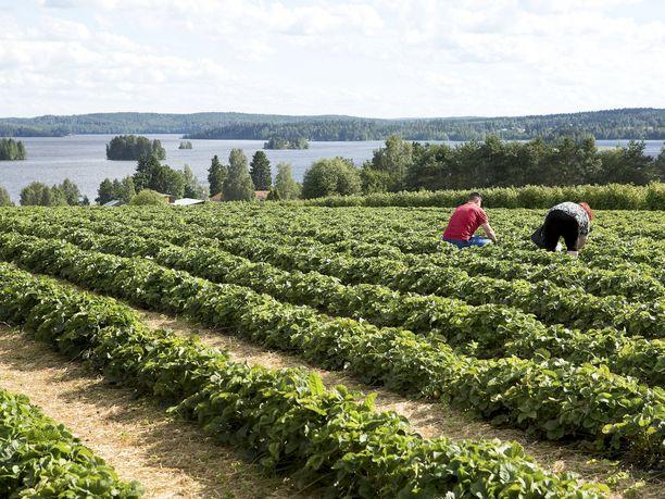 Suomalaisia työntekijöitä kaivataan nyt maatalouden kausitöihin. Kuvituskuva.