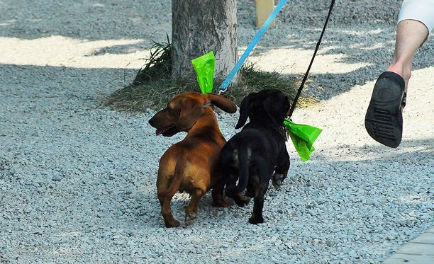 Mikään näyttelysaavutus ei ole minkään arvoinen, jos koira kärsii siitä, eläintenkouluttaja Sari Paavilainen Koirakoulu visiosta toteaa.Paavilainen huomauttaa, että näyttelyihin haluttu käytös tulee opettaa koiralle etukäteen ja harjoitella monissa eri ympäristöissä vähitellen. Kuvituskuva.