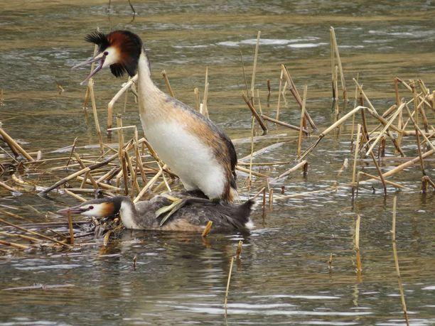 Suomessa silkkiuikkuja tavataan etelästä Etelä-Lappiin asti. Laji suosii reheviä järviä, jolloin pesimäkanta voi olla runsas.