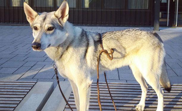 Tältä kirkkonummelainen Valla-koira näyttää päivänvalossa.