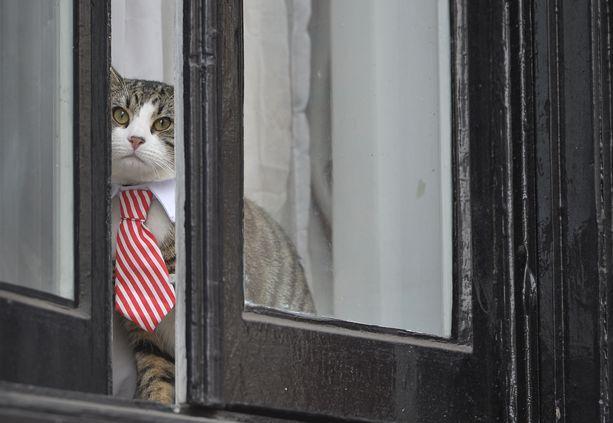 Julian Assangen kissa on kuvattu tiirailemassa ikkunasta kravatti kaulassa.