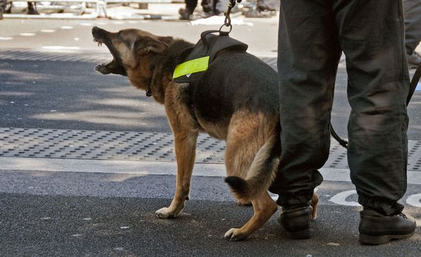 Luonteeltaan itsevarma ja aktiivinen saksanpaimenkoira sopii hyvin esimerkiksi poliisikoiratehtäviin. Kuvituskuva.
