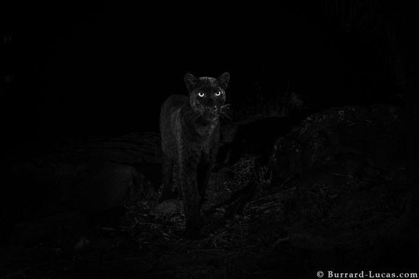 Will Burrard-Lucas sai mustasta pantterista upeita kuvia.
