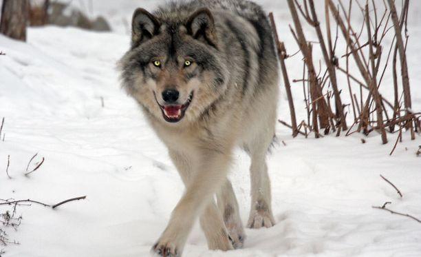 Mies havaitsi metsäretkellä ainakin neljä sutta. Kuvan susi ei liity tapaukseen.
