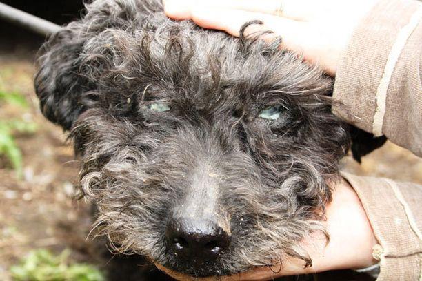Pentutehtaasta eläinsuojeluvalvojan mukaansa ottaman nartun silmät olivat märkäeritteen peittämät ja rähmivät pahasti.
