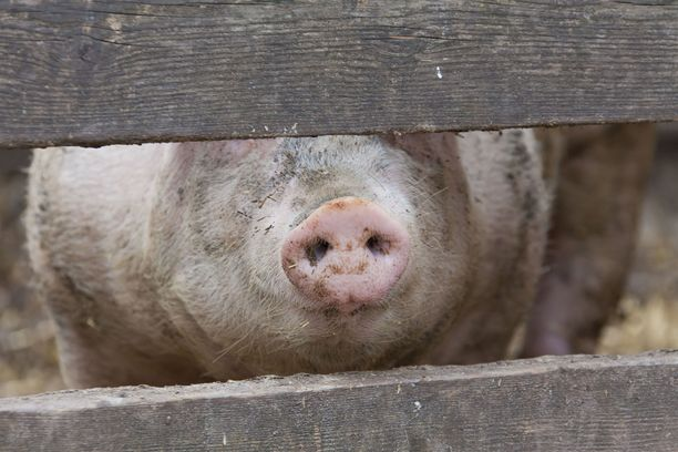 Kuvan sika ei liity tapaukseen.
