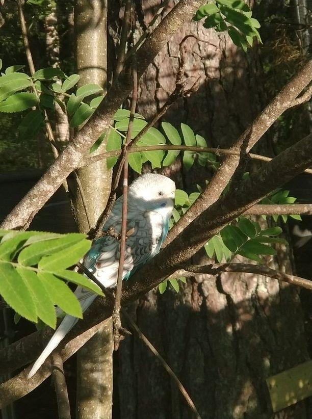 Tiistaiaamuna 5.6. lemmikkilintu päivysti puussa.
