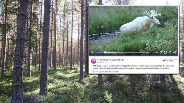 Hans Nilssonin kesällä kuvaama valkoinen hirvi aiotaan lopettaa, koska siitä on suosion myötä tullut ärtyisä ja aggressiivinen.