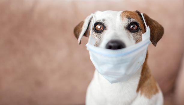 Koirasta ei ihminen voi tämän hetken tiedon valossa saada koronavirusta.