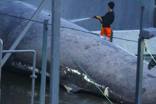 Aktivistiryhmä on varma, että surmattu valas on sinivalas. Valaanpyyntiyhtiön mukaan kyseessä on sillivalas tai sillivalaan ja sinivalaan risteymä, jota suojelulaki ei koske.