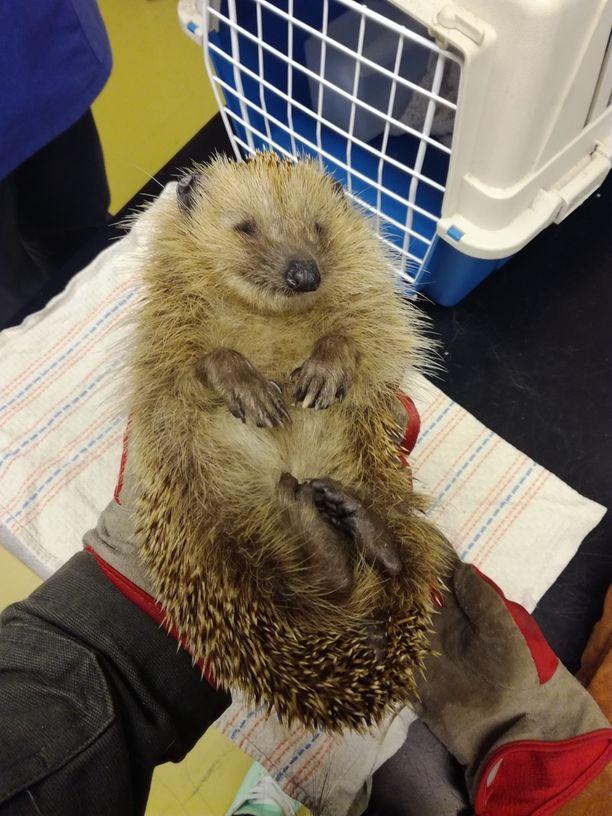 Siili pääsi nopeasti hoitoon eläinkotiyhdistyksen kautta.