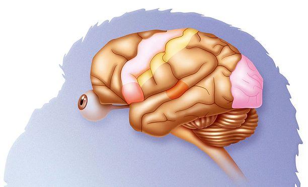 Tutkimuksessa yhdistettiin muun maussa kolmen apinan aivot toisiinsa.