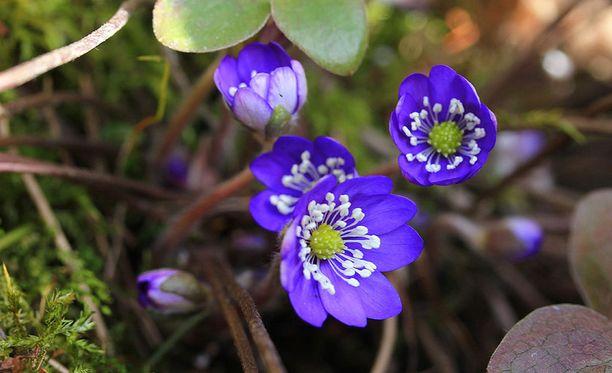 Ensimmäiset sinivuokon kukat ilmaantuvat yleensä huhtikuun alkupuolella. Se on ensimmäisiä kukkivia kasveja yhdessä leskenlehden kanssa, Luonto-Liitto kertoo.