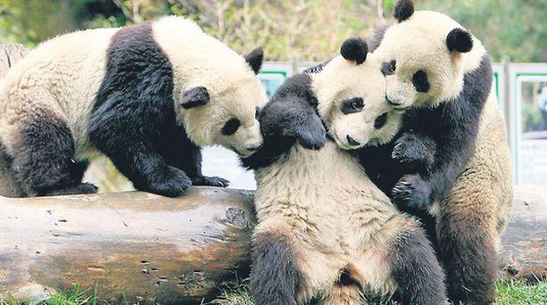 ÄLÄ OTA ENÄÄ! Kaksi huolestunutta pandaa joutui toppuuttelemaan Wolongin tutkimuskeskuksessa toveriaan, joka oli ottanut ilmeisesti jotakin pandaa väkevämpää siitä riemusta, että elikot pääsevät Pekingin olympialaisiin ilahduttamaan kisavieraita.