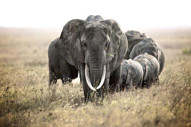 Norsulauma Serengetin kansallispuistossa Tansaniassa vuonna 2013.