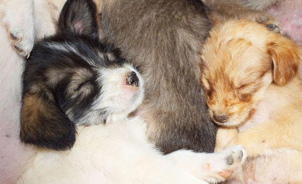 Koiranpennut voivat olla myös tuottoisan rikollisuuden uhreja.