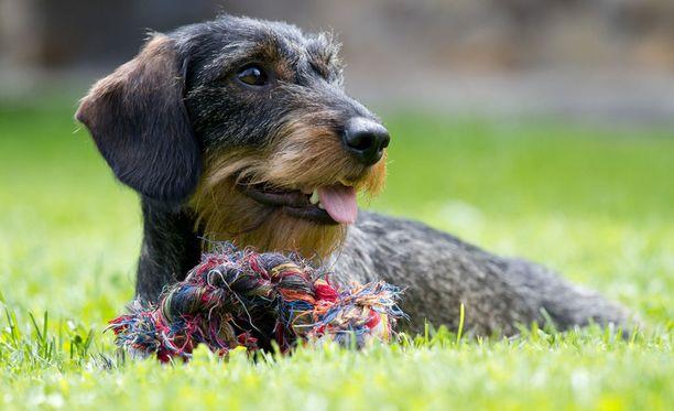 Tutkijat uskovat löytäneensä syyn siihen, miksi koirat ovat niin ihmisystävällisiä.