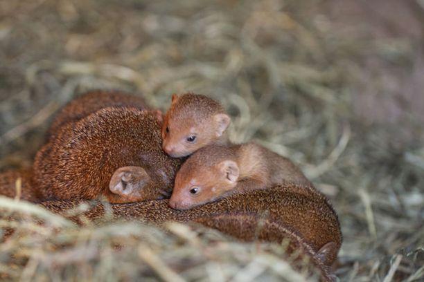 Pikkumangustit syntyivät tänä kesänä Korkeasaaressa.