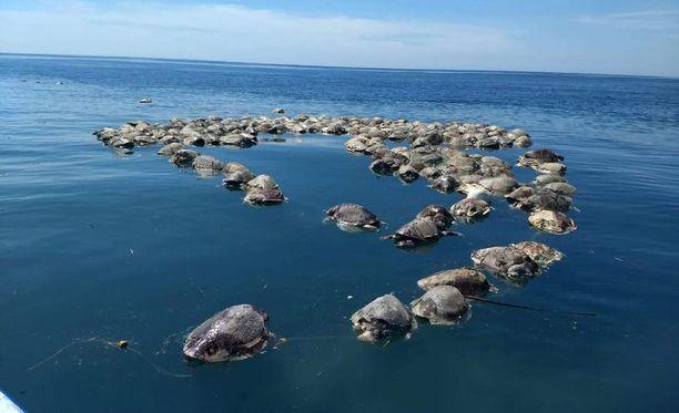 Kalastajat löysivät kilpikonnien ruumiit kalaverkoista.