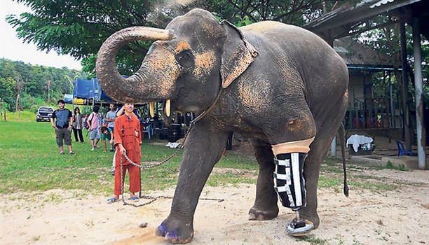 HYÖTYKOJE Maamiina vei jalan kymmenen vuotta sitten thaimaalaiselta Motala-norsulta. 48-vuotias rouva sai onneksi hiljattain jalkaproteesin, ja nyt se opettelee kävelemään täyttä päätä.