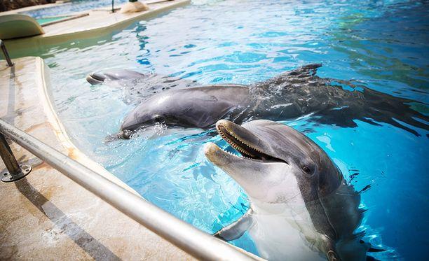 Iäkkään Veera-delfiinin siirtoaikeista ei ole luovuttu.