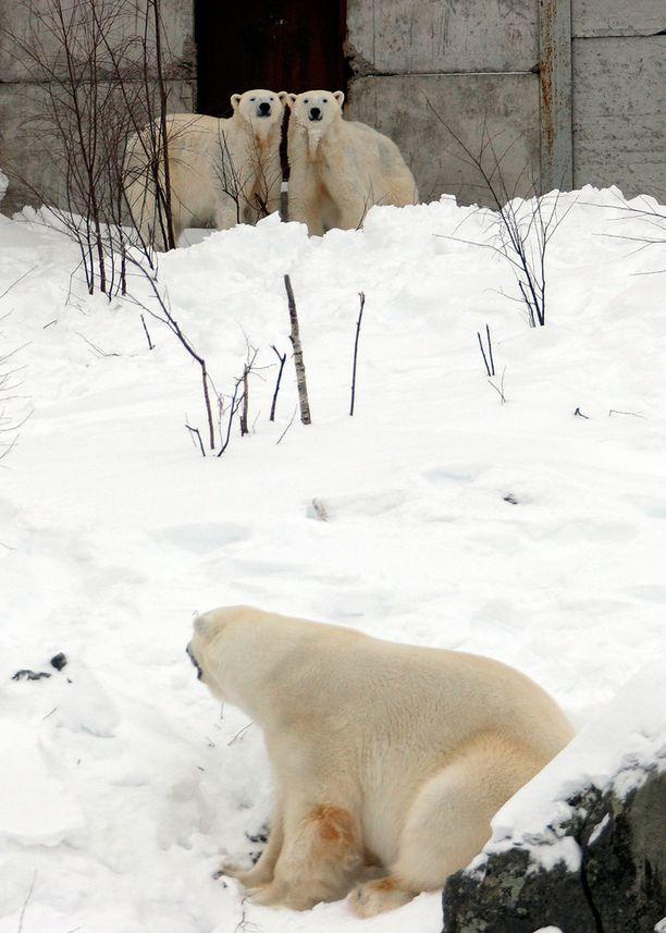 Kuvassa vuonna 2009 Ranuan eläinpuiston jääkarhusisarukset Venus ja Valeska sekä jääkarhu-uros Manesse. Valeska on siirretty sittemmin Saksaan.