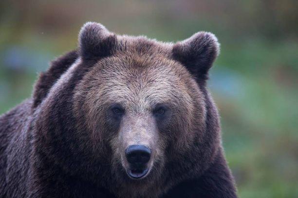 Poliisi varoittaa karhuista, jotka liikkuvat pentujen kanssa. Kuvituskuva.